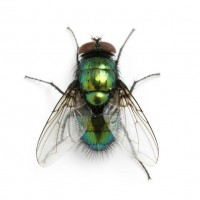 Cluster Flies - The Unwelcome Holiday Home Guests